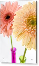Peach And Pink Gerbera Acrylic Print