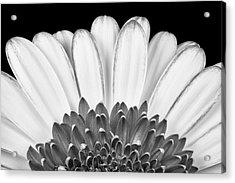 Gerbera Rising Acrylic Print by Adam Romanowicz