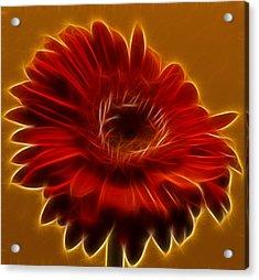 Gerbia Daisy Acrylic Print