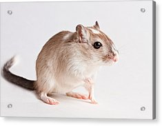Acrylic Print featuring the photograph Gerbil Gerbillinae by David Kenny
