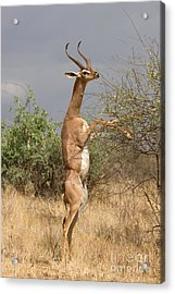 Acrylic Print featuring the photograph Gerenuk Antelope by Chris Scroggins