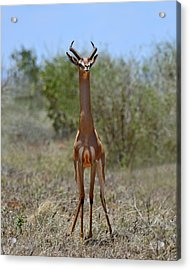 Gerenuk Acrylic Print by Tony Beck