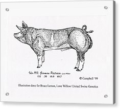 Acrylic Print featuring the pyrography German Pietrain Boar by Larry Campbell
