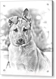German Shepard Puppy Acrylic Print by James BO  Insogna