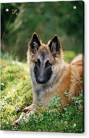 German Shepherd Dog Acrylic Print by Bjorn Svensson/science Photo Library
