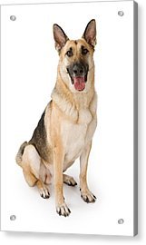 German Shepherd Dog Isolated On White Acrylic Print by Susan Schmitz