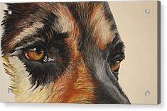 German Shepherd Gaze Acrylic Print by Ann Marie Chaffin