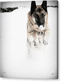 Acrylic Print featuring the photograph German Shepherd In The Snow by Tanya  Searcy