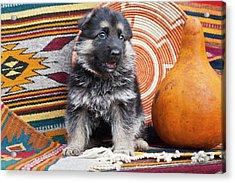German Shepherd Puppy Sitting Acrylic Print by Zandria Muench Beraldo