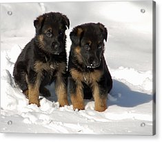 German Shepherd Pups Acrylic Print by Aimee L Maher Photography and Art Visit ALMGallerydotcom