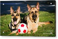 Acrylic Print featuring the photograph German Shepherd Sisters by Eleanor Abramson