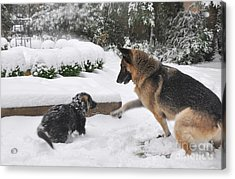 Acrylic Print featuring the photograph German Shepherds Playing In The Snow by Tanya  Searcy