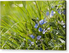 Germander Speedwell Acrylic Print by Anne Gilbert
