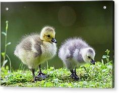Germany, Bavaria, Barnacle Goose Chicks Acrylic Print