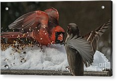 Get Off My Feeder Acrylic Print