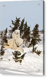 Getting A Better View Acrylic Print