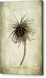 Geum Urbanum In Sepia Acrylic Print by John Edwards