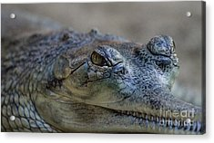Gharial Smile Acrylic Print by Ruth Jolly