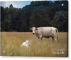 Ghost Cow And Calf Acrylic Print