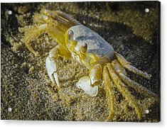 Ghost Crab Acrylic Print