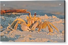 Ghost Crab Acrylic Print by Eve Spring