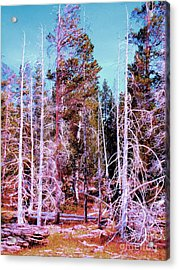 Ghost Trees Of The Yellowstone Acrylic Print