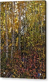 Ghosts Of A Quaking Aspen Acrylic Print by Eric Rundle