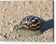 Giant African Land Snail Acrylic Print by Science Photo Library