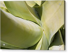 Giant Agave Abstract 9 Acrylic Print