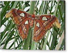 Giant Atlas Moth Acrylic Print