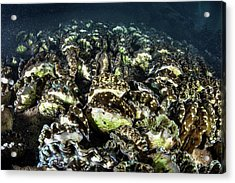 Giant Clam Farm Acrylic Print by Ethan Daniels