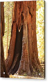 Giant Forest Sequoia Tree Acrylic Print