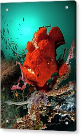 Giant Frogfish Sat On Reef Acrylic Print