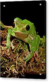 Giant Gliding Treefrog, Polypedates Sp Acrylic Print by David Northcott
