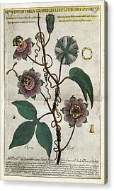 Giant Granadilla Flowers Acrylic Print