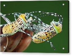 Giant Katydid Hatchlings Acrylic Print by Tomasz Litwin