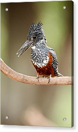 Giant Kingfisher Megaceryle Maxima Acrylic Print by Panoramic Images