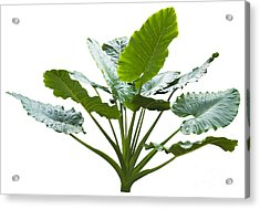 Giant Leaf Acrylic Print by Atiketta Sangasaeng