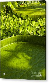 Giant Lily Pad Victoria Amazonica Acrylic Print