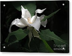 Giant Magnolia Acrylic Print by Angela DeFrias
