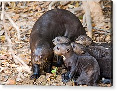 Giant Otter Pteronura Brasiliensis Acrylic Print by Panoramic Images