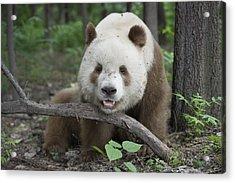 Giant Panda Brown Morph China Acrylic Print