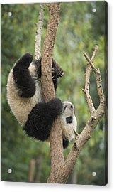 Giant Panda Cub In Tree Chengdu Sichuan Acrylic Print
