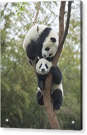 Giant Panda Cubs Playing Chengdu Acrylic Print by Katherine Feng