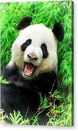 Giant Panda Laughing Acrylic Print