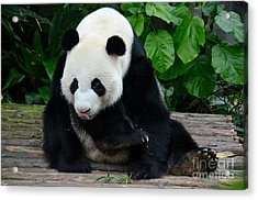 Giant Panda With Tongue Touching Nose At River Safari Zoo Singapore Acrylic Print