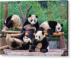 Acrylic Print featuring the photograph Giant Pandas by Dennis Cox ChinaStock