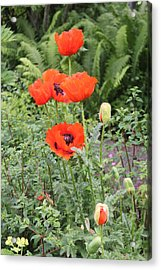 Acrylic Print featuring the photograph Giant Poppies by David Grant