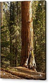 Giant Sequoia  1-7834 Acrylic Print