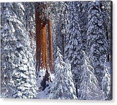 Giant Sequoia Trees Sequoiadendron Acrylic Print